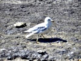 [picture: Closer Gull]