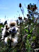 [picture: Milkweed and Teazles]