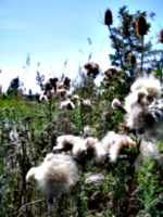 [picture: Milkweed and Teazles 2]