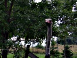 [picture: Ostrich head]