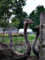 [picture: Two ostriches]