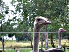 [picture: Ostrich 3]