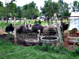 [picture: Ostrich farm 3]