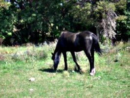 [picture: Grazing horse]