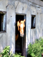 [picture: Horse head]
