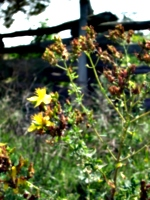 [picture: Yellow flower]