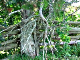 [picture: Tree by fence 3]