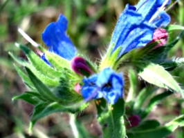 [picture: Purple and blue flower 2]