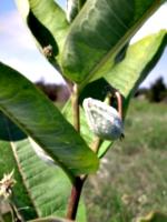[picture: Milkweed pod]