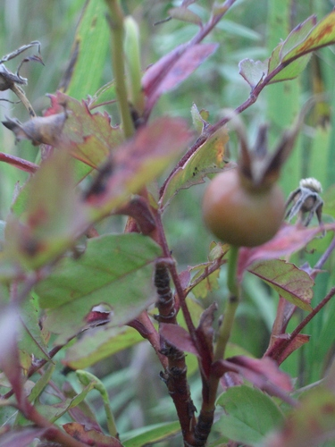 [Picture: Rose hip]