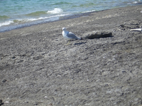 [Picture: Gull]