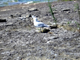 [Picture: Gull 2]