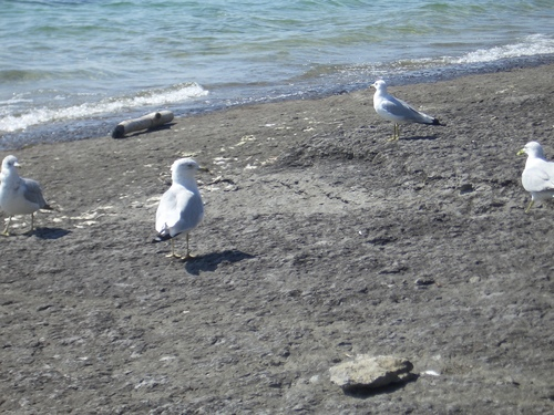 [Picture: Several gulls]
