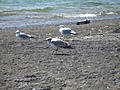 [Picture: Seagull Party 2]