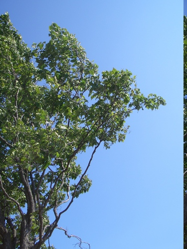 [Picture: Tree against the sky]