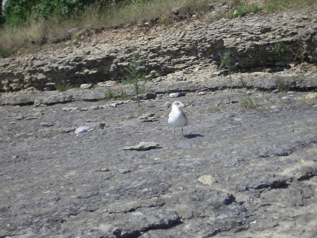 [Picture: Gull facing the camera]