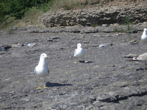 [Picture: Seagulls walking]