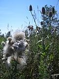 [Picture: Milkweed and Teazles]