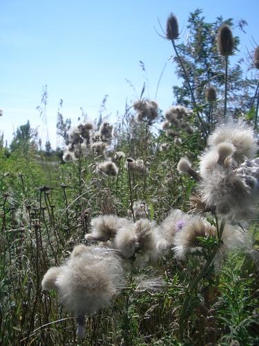 [Picture: Milkweed and Teazles 2]