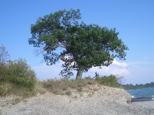 [Picture: Point Petre Tree 2]