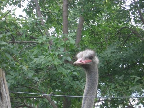 [Picture: Ostrich head 3]