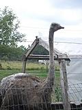 [Picture: Ostrich]