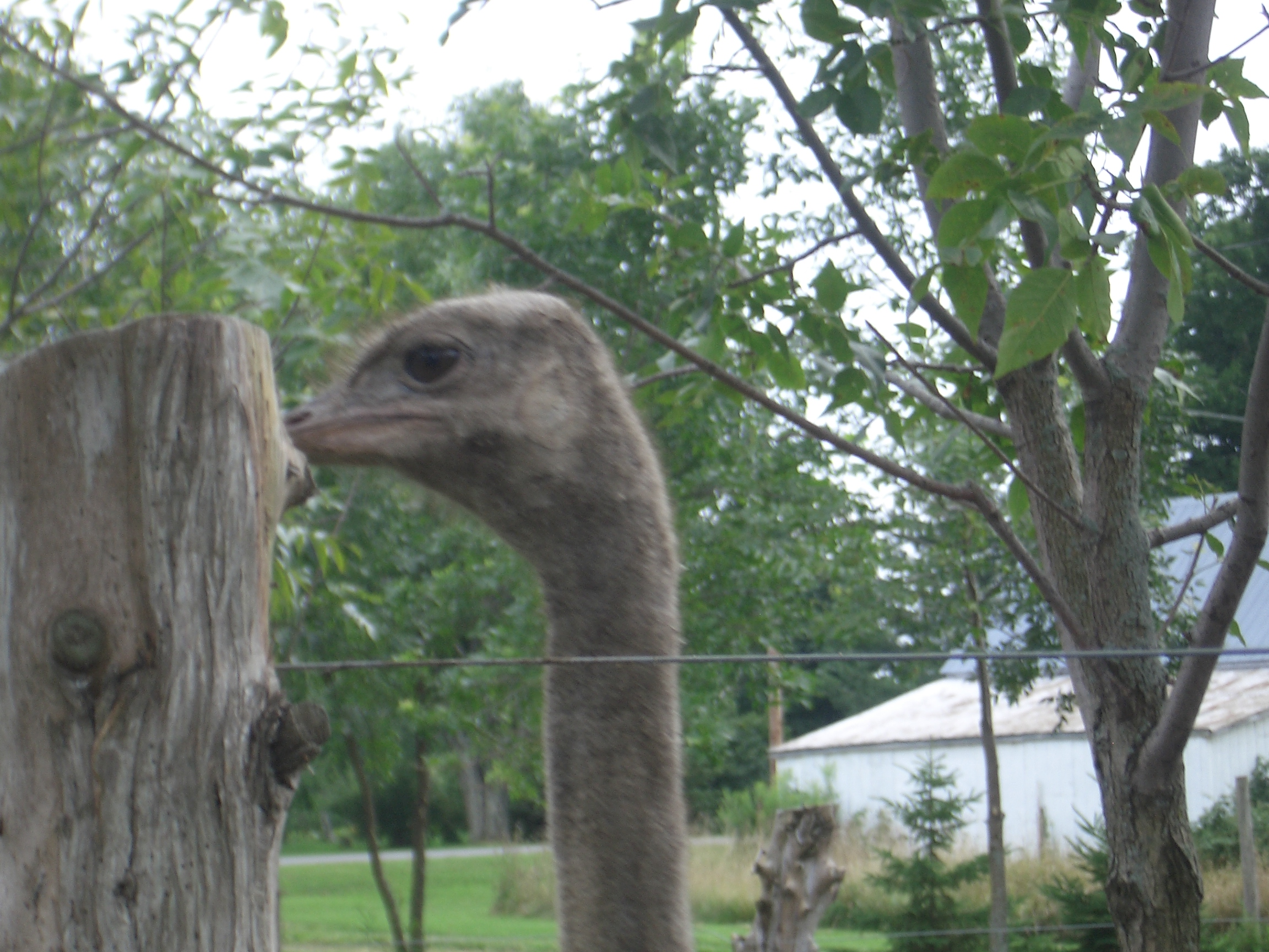 [Picture: Ostrich head-on]
