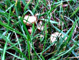 [Picture: Field mushrooms]
