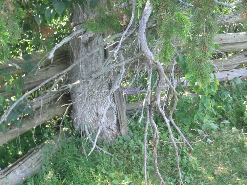[Picture: Tree by fence]