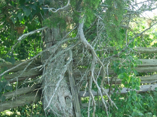 [Picture: Tree by fence 2]