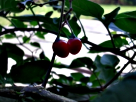 [Picture: Cherry Tomatoes]