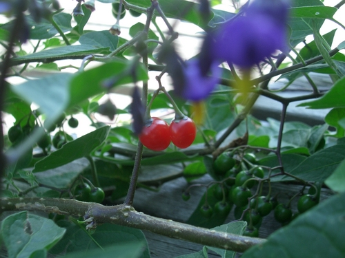 [Picture: Cherry Tomatoes 2]