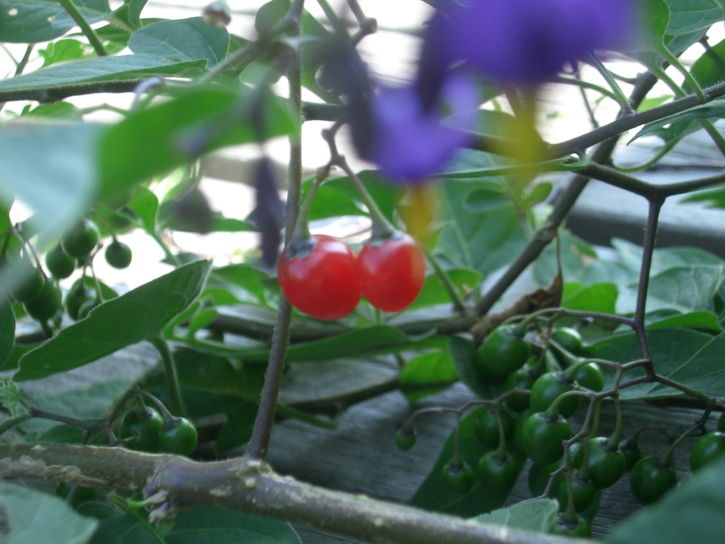 [Picture: Cherry Tomatoes 3]