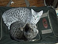 [Picture: Cats on suitcase 2]