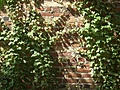 [Picture: Brick wall with creeper]