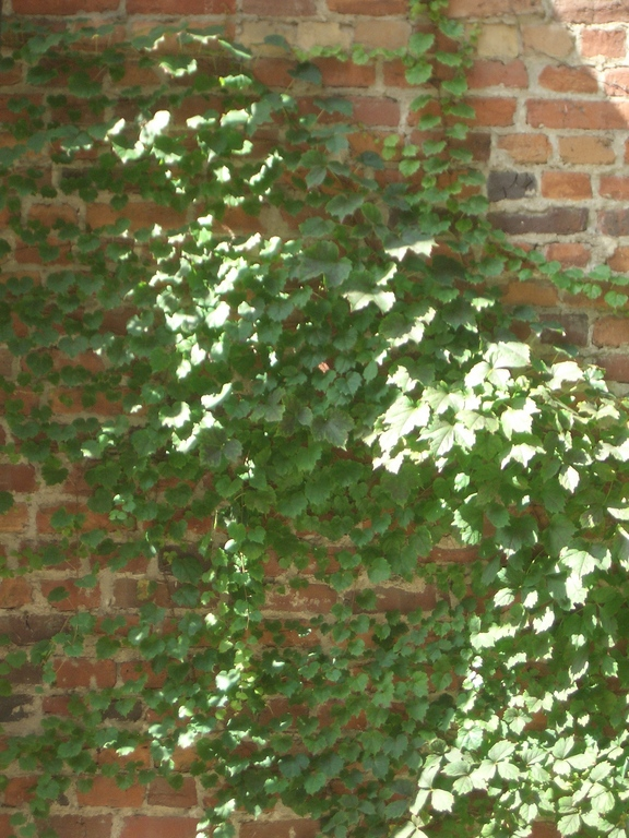 [Picture: Brick wall with creeper 2]