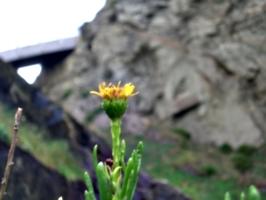 [picture: Dandelion]