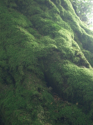 [Picture: Moss-covered tree roots 2]