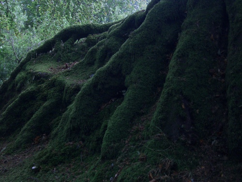 [Picture: Moss-covered tree roots 3]