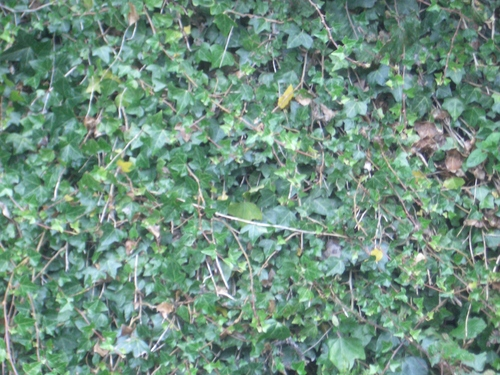 [Picture: Ivy texture]