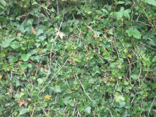 [Picture: Ivy texture 2]