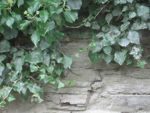 [Picture: Stone wall with ivy]