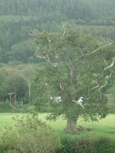 [Picture: Restormel Castle 18: Tree]