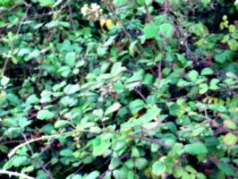 [picture: Blackberry bush]