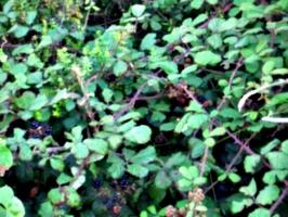 [picture: Blackberry bush 2]