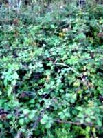 [picture: Blackberry bush 3]