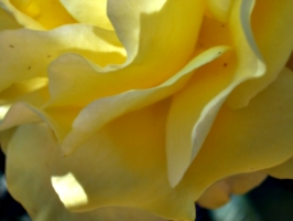 [picture: Yellow flower up close 2]