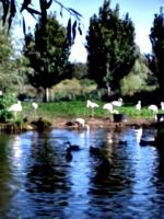 [picture: Flamingos]