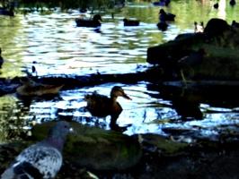 [picture: Mallard ducks.]