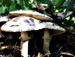 [picture: Mushrooms]
